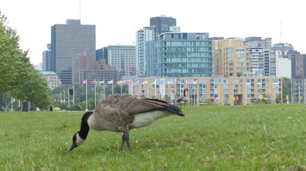 Und es gibt Kanada-Gaense, die ungeniert in der City grasen.