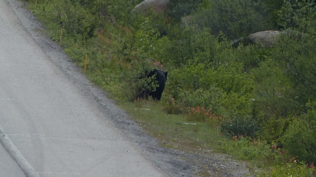 Fast erwischt ... ein Schwarzbär