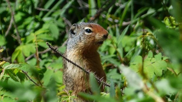 Hier sehen wir ein Columbian Ground Squirrel. Die  tauchen immer wieder blitzartig am Wege auf.